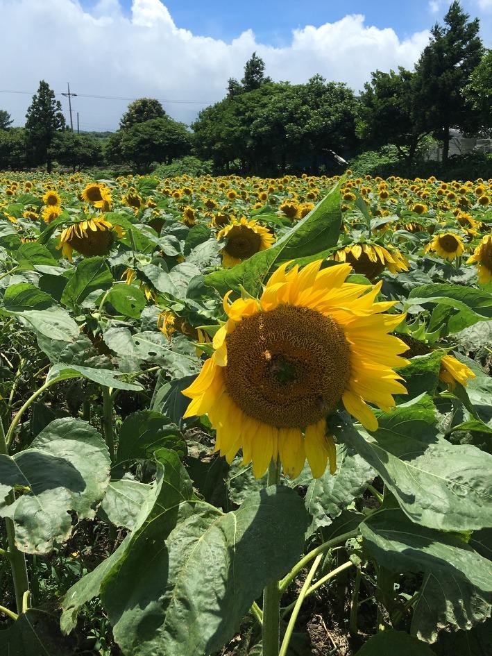 제주도 여름 여행지 추천 해바라기 농장